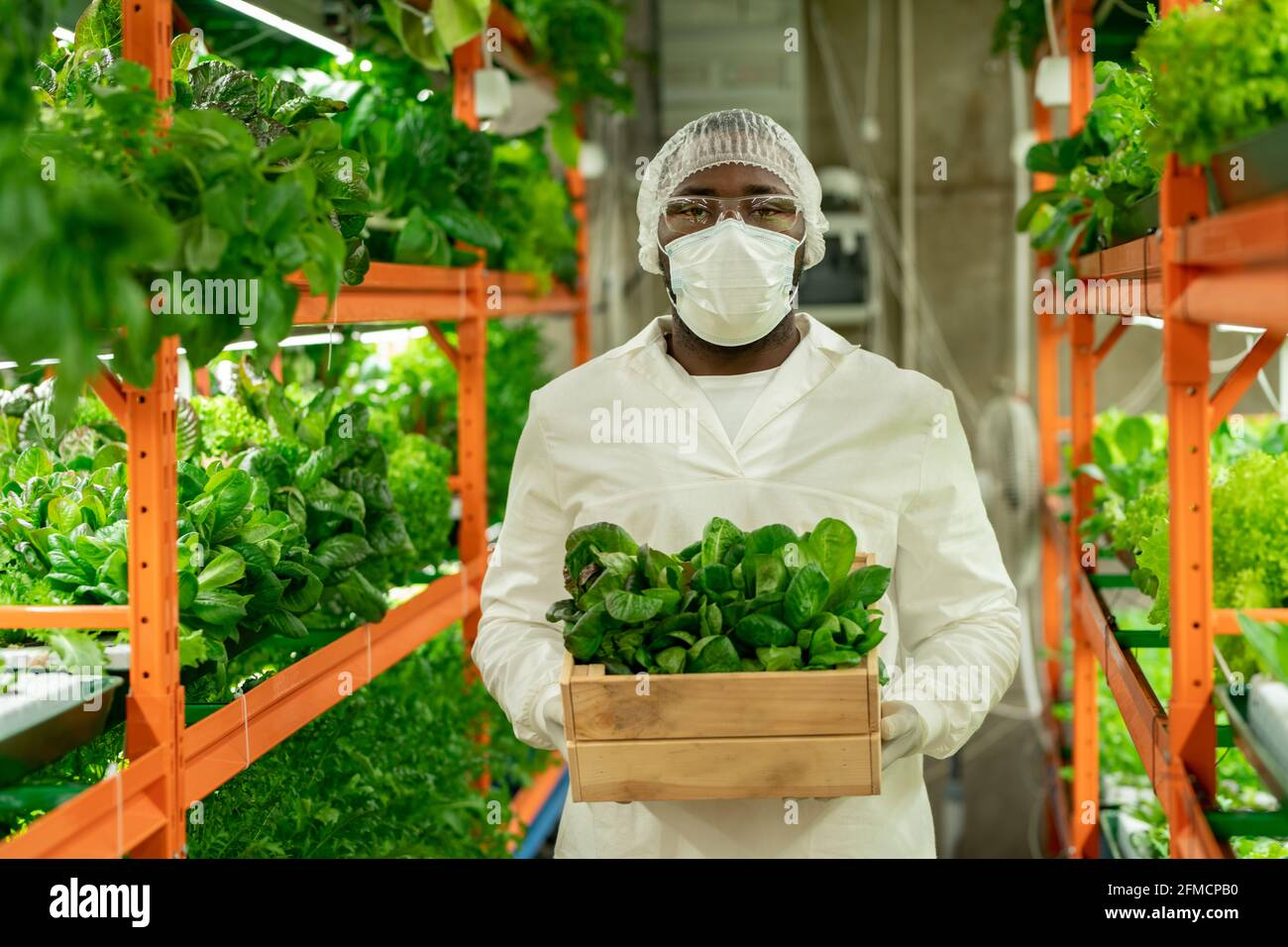 Portrait of serious young Black grower in mask, cap and goggles holding box of spinach leaves, he working with seedlings at vertical farm Stock Photo