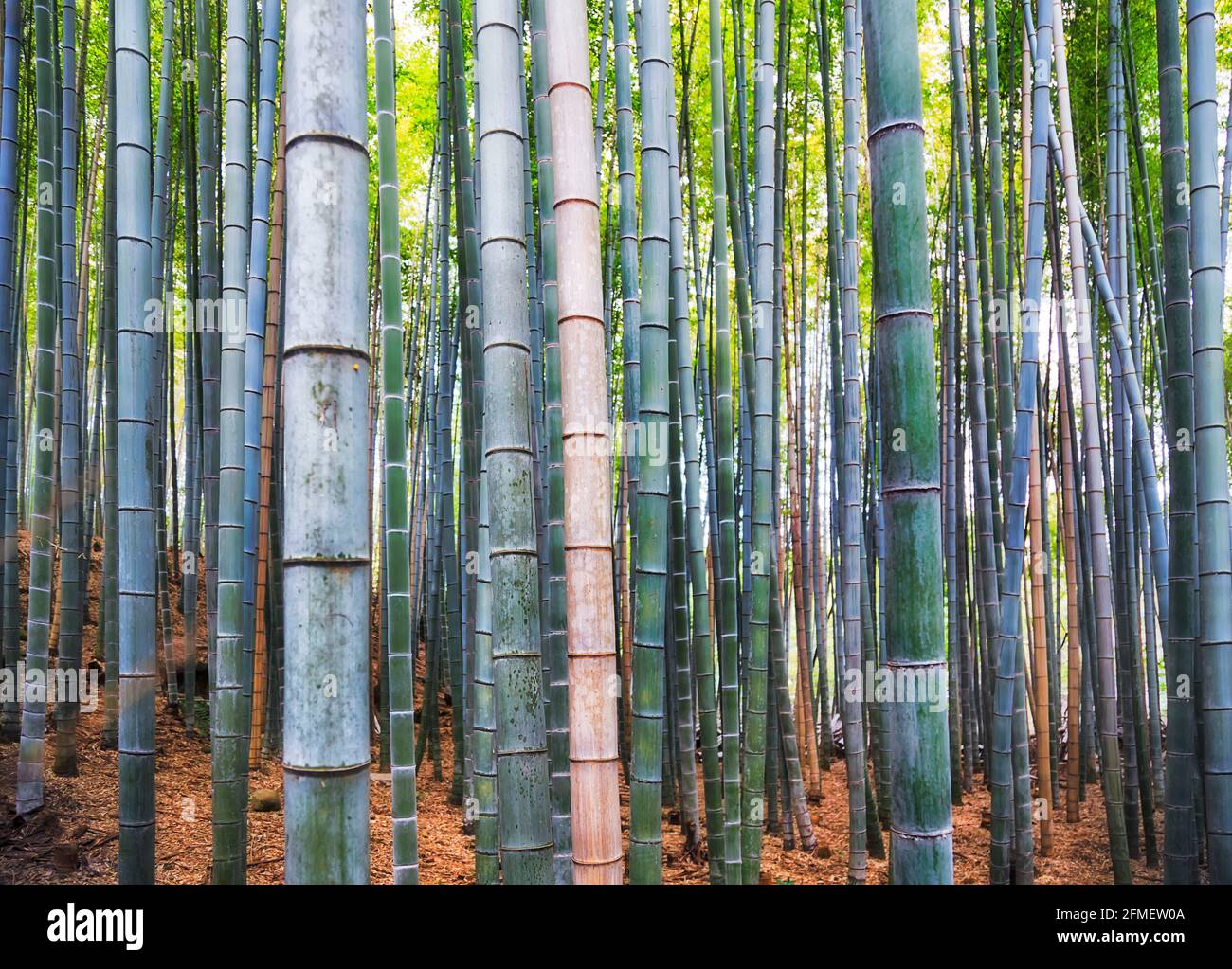 Low section of Bamboo plants in natural bamboo forest - Arashiyama grove of Kyoto city, Japan. Stock Photo