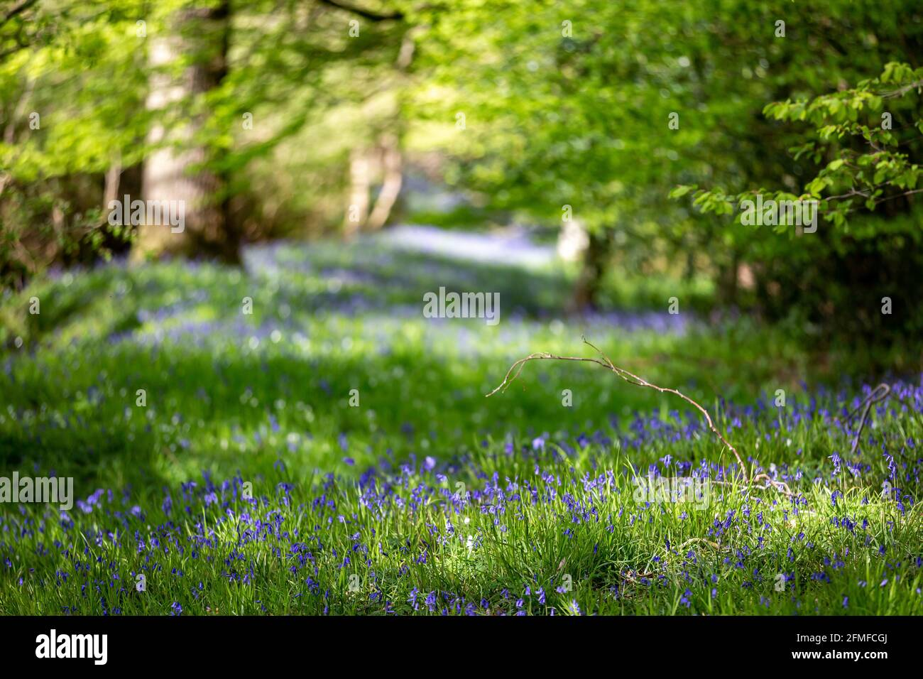 Bluebells growing in Sussex woodland, with a shallow depth of field Stock Photo
