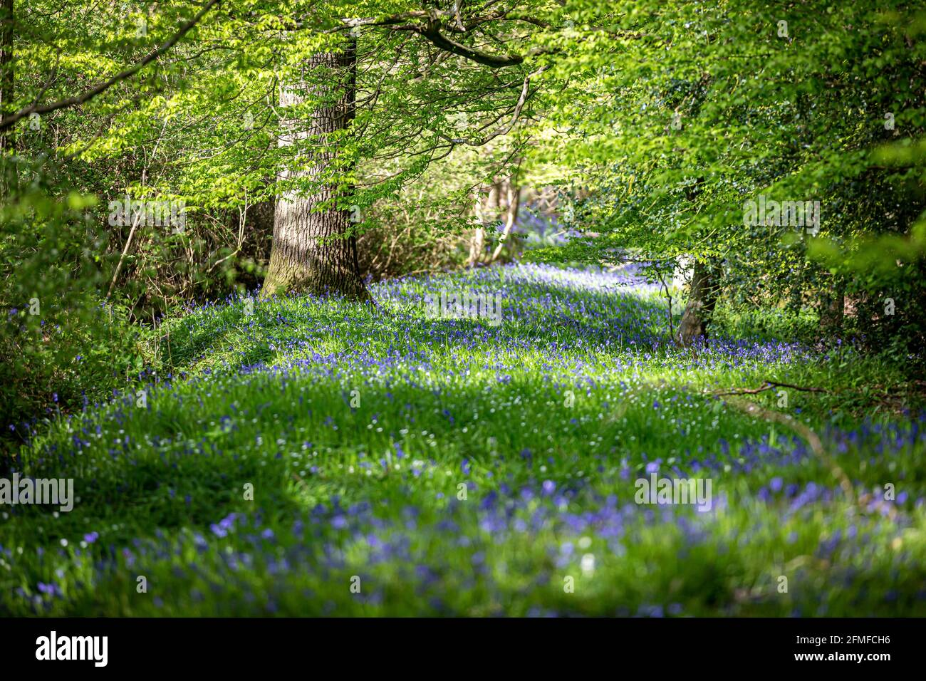 A carpet of bluebells in Sussex woodland Stock Photo