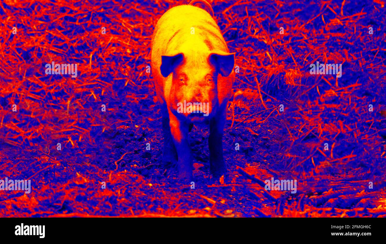 490+Pig. Scanning animal's body temperature with thermal imager Stock ...
