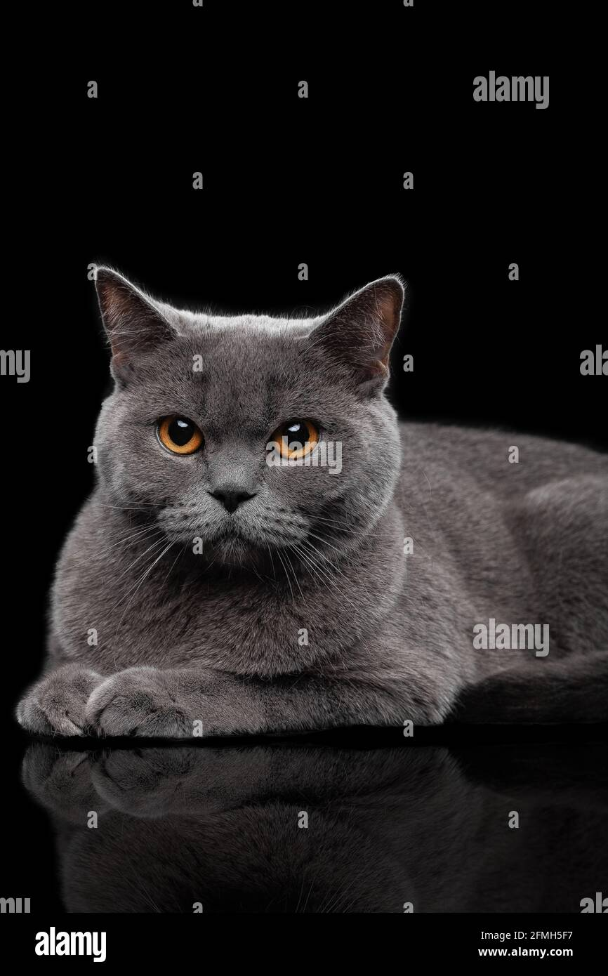 Adorable dark gray Scottish Straight cat Stock Photo