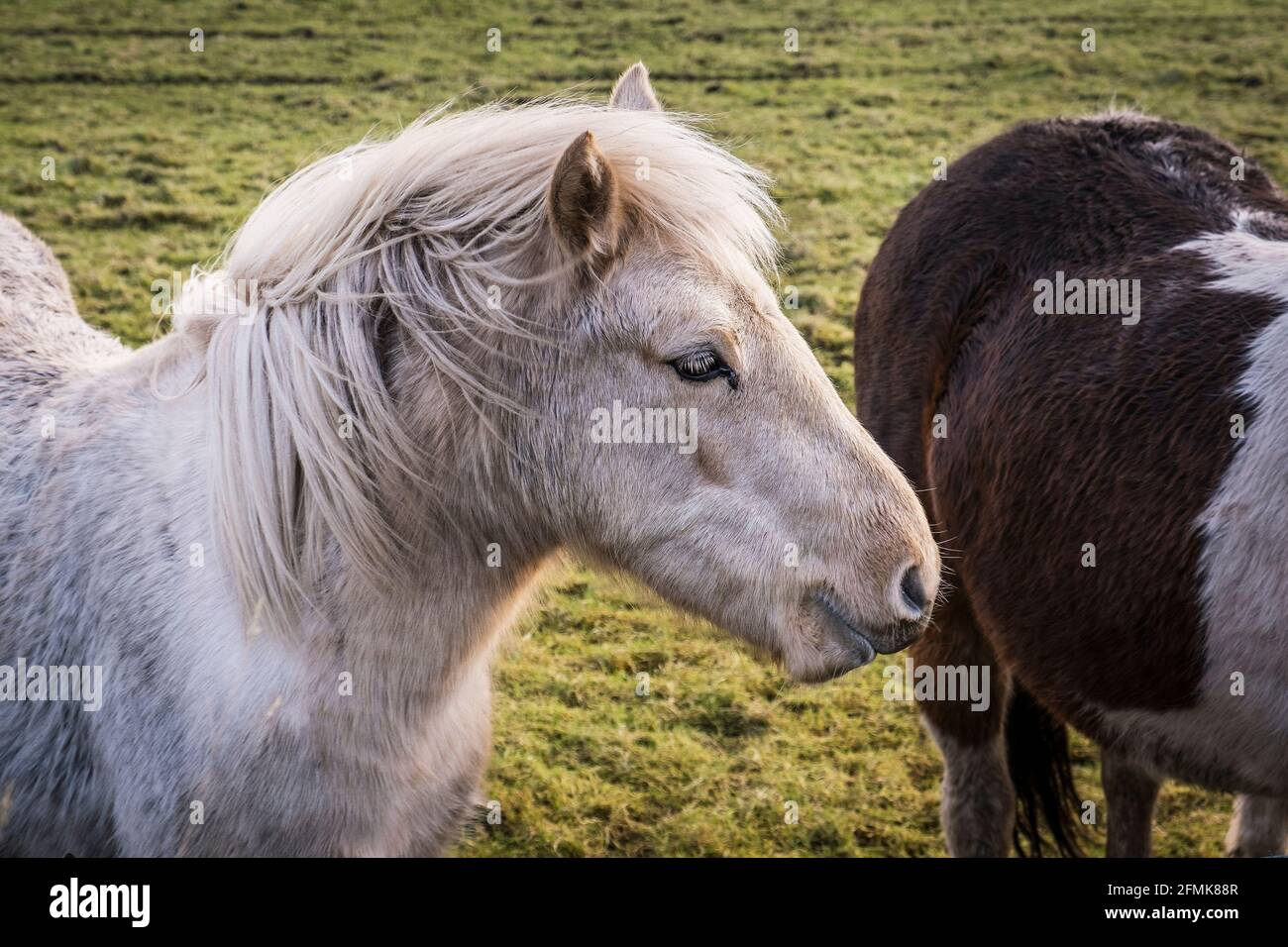 Iconic untamed Bodmin Ponies on Bodmin Moor in Cornwall. Stock Photo
