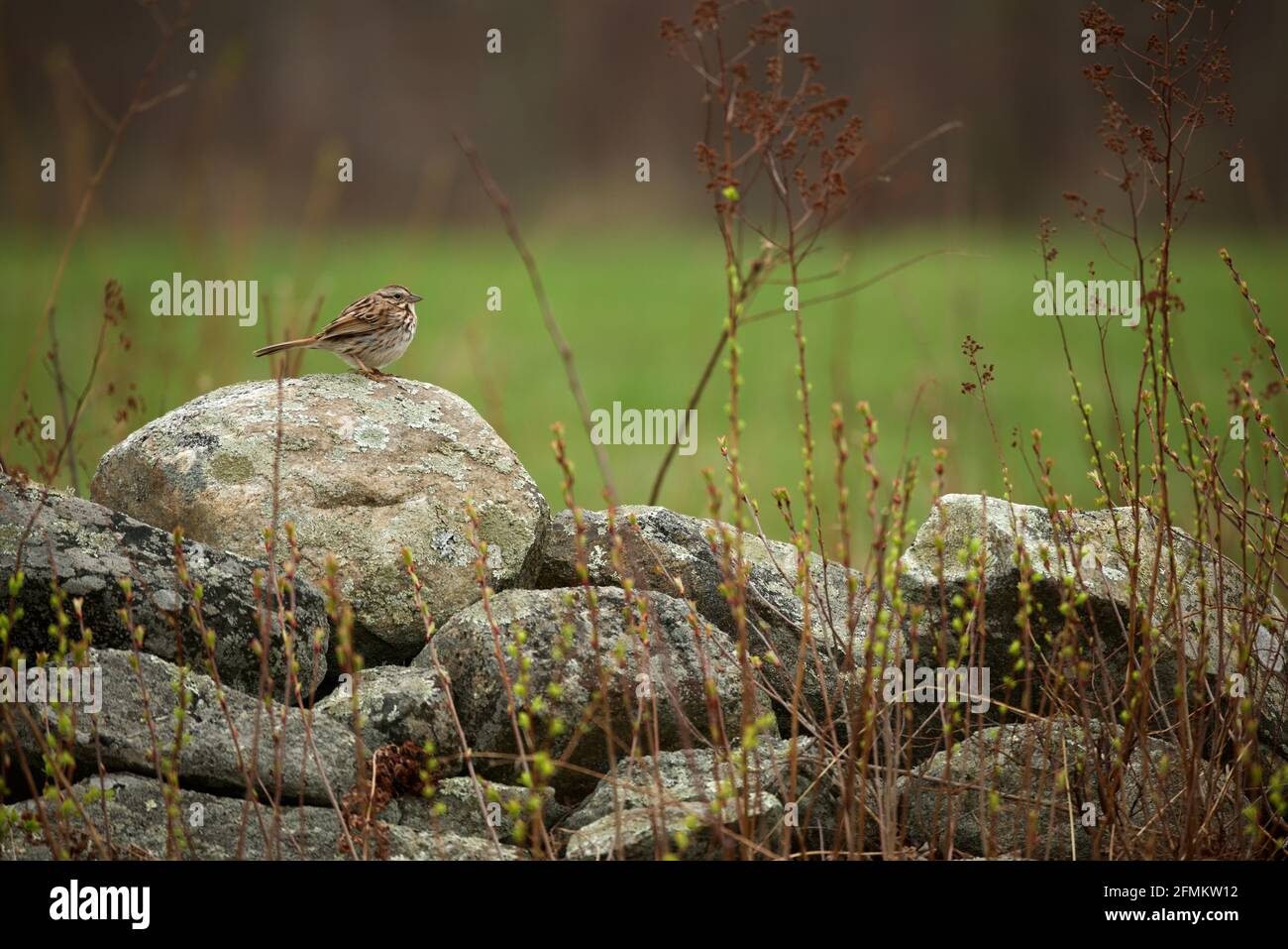 pretty small juvenile white throated sparrow ;singing  sweet melody on big stone with green blurry background... Stock Photo