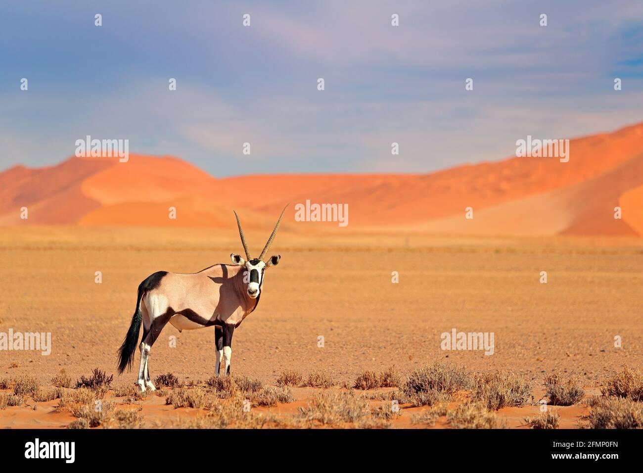 Gemsbok with orange sand dune evening sunset. Gemsbuck, Oryx gazella, large antelope in nature habitat, Sossusvlei, Namibia. Wild animals in the savan Stock Photo