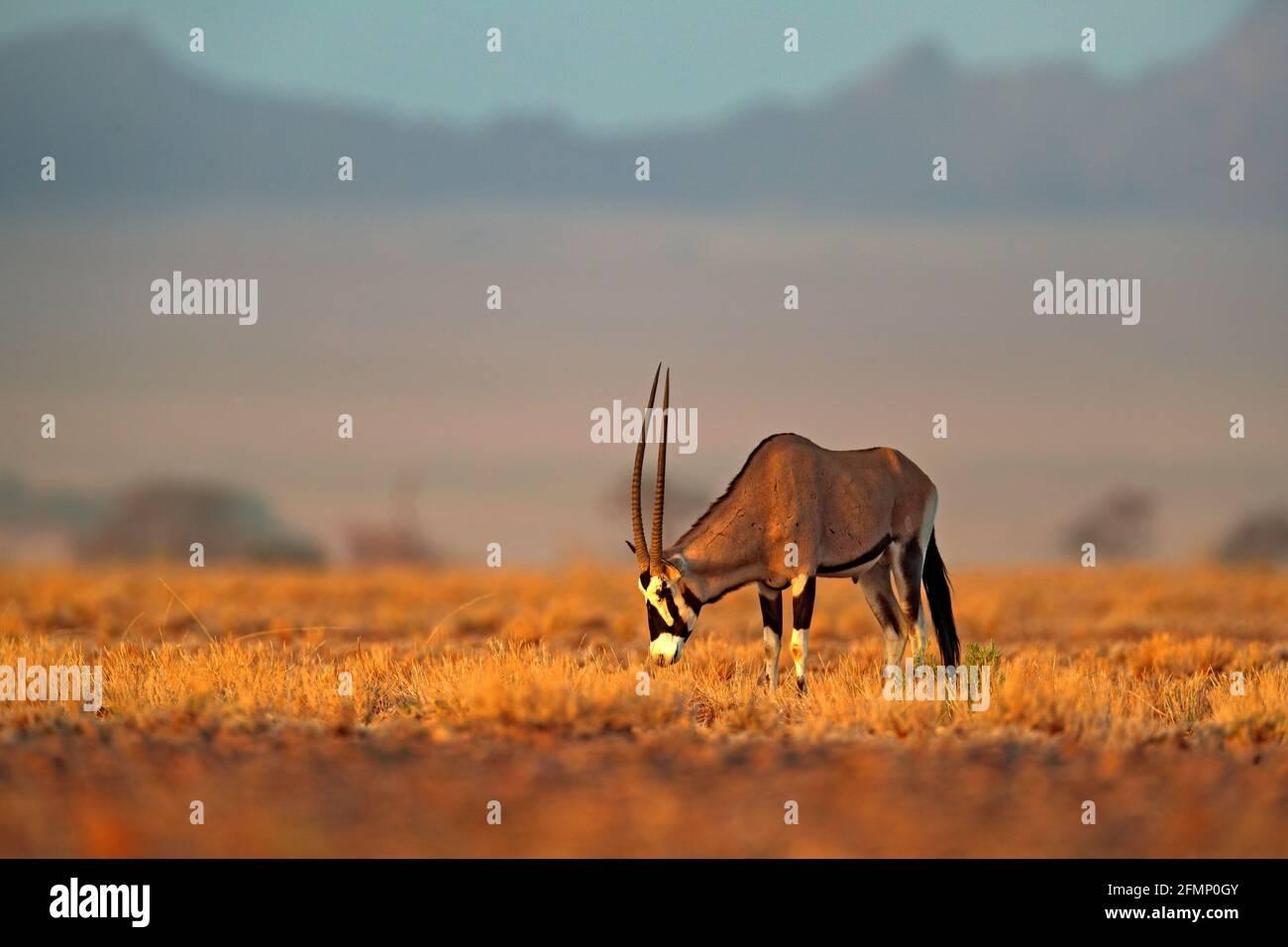 Oryx gazella beautiful iconic gemsbok antelope from Namib desert, Namibia. Oryx with orange sand dune evening sunset. Gemsbock large antelope in natur Stock Photo