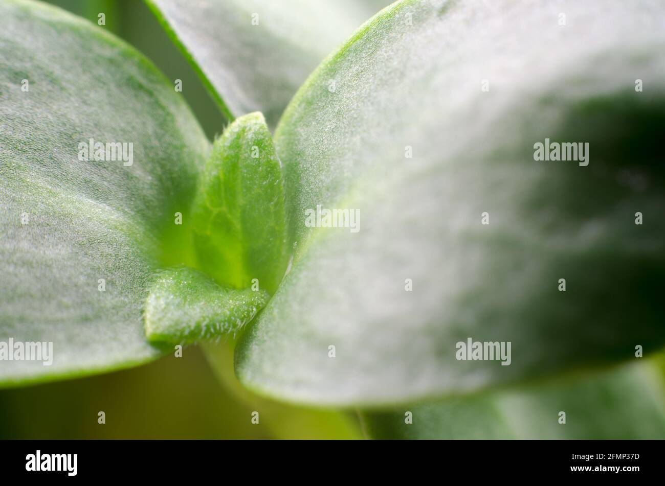 Sunflower sprouts macro photography. Food for vegetarians. Healthy food concept Stock Photo