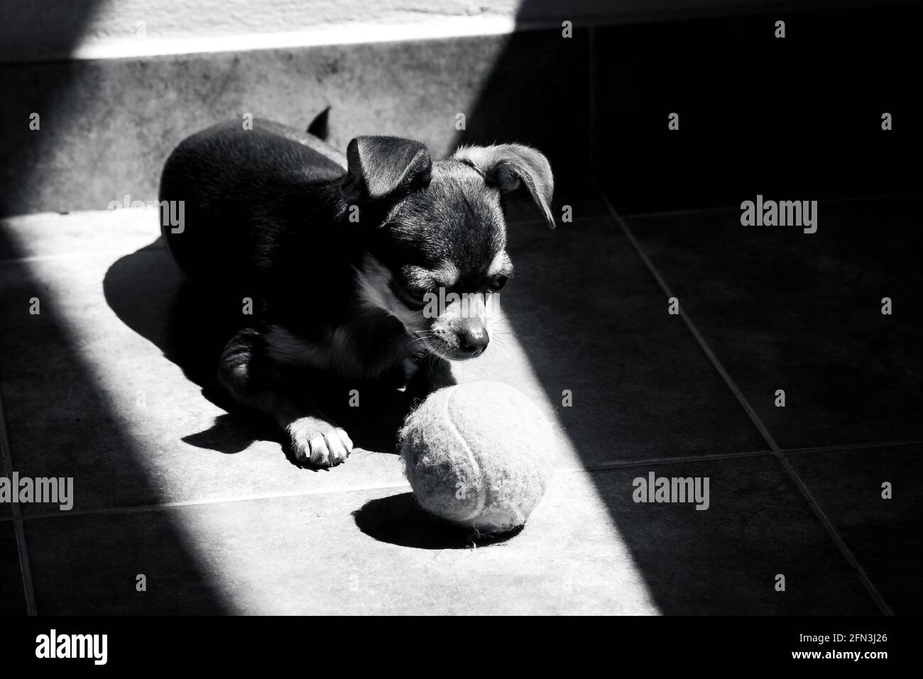 Cute little brown chihuahua dog looking sadly at his tennis ball toy while resting at sunlight in black and white Stock Photo