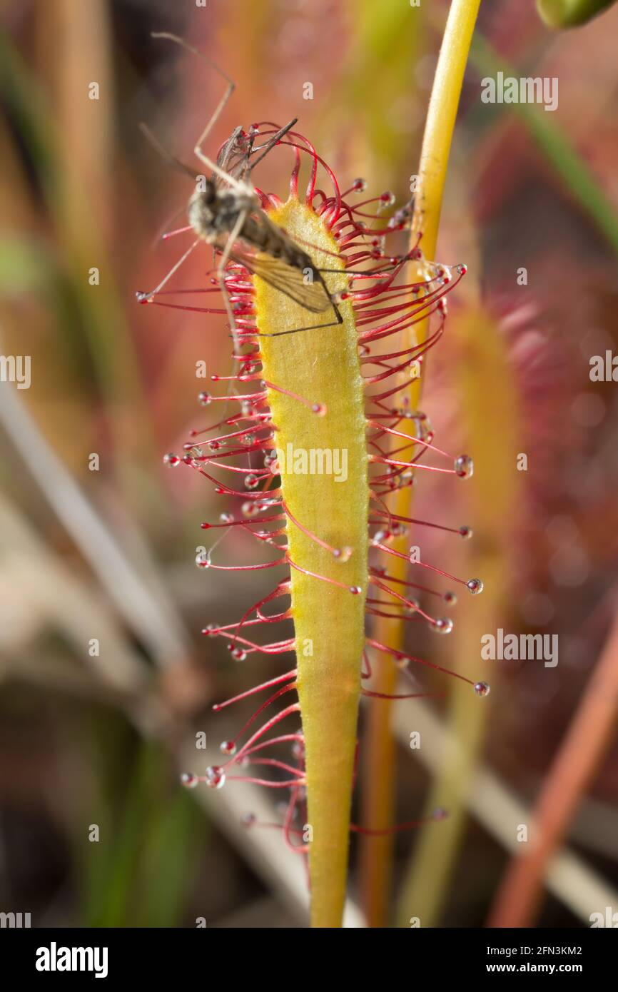 Great sundew, Drosera anglica with caught mosquito Stock Photo
