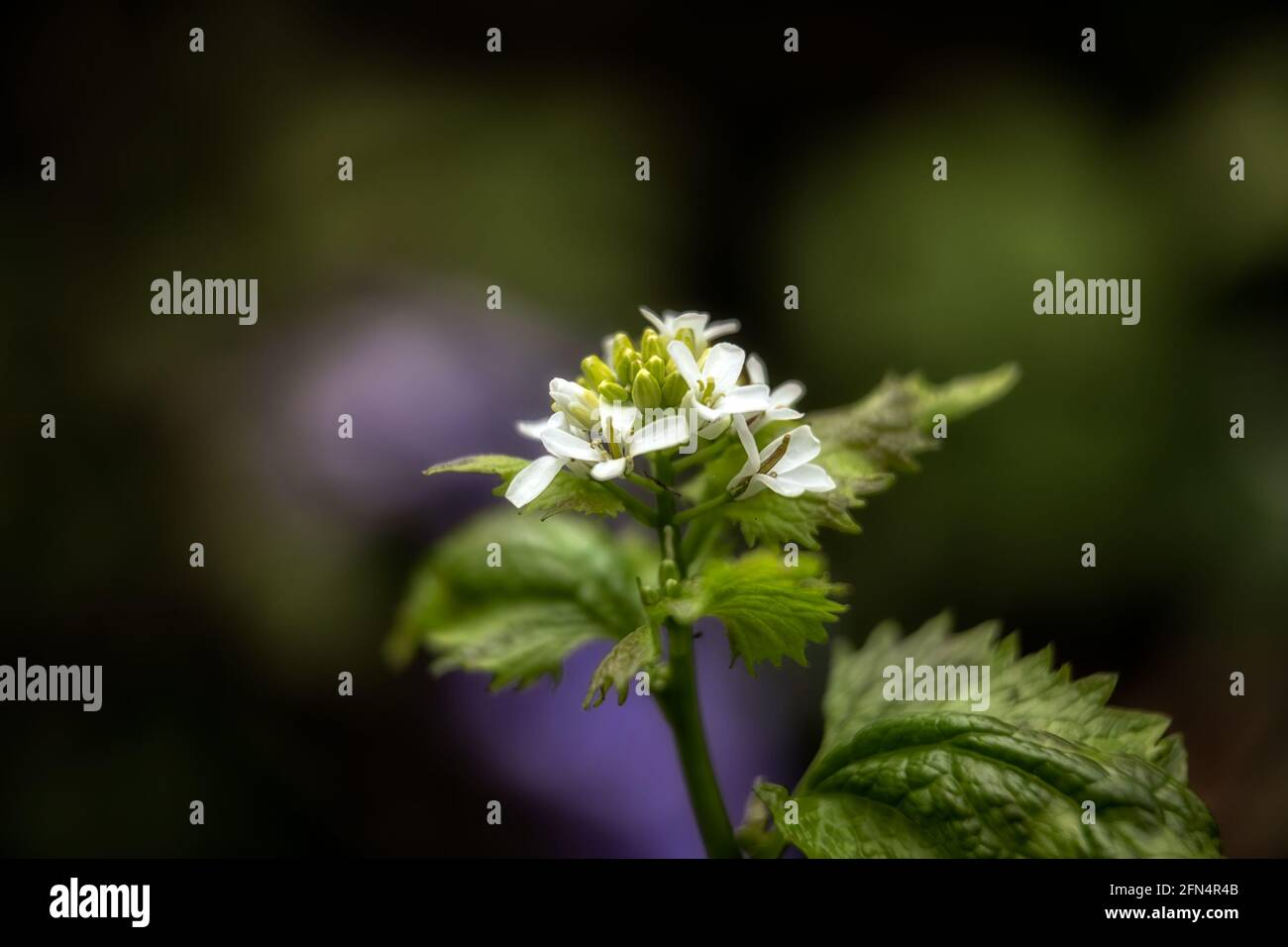 Closeup of the flowers of Garlic mustard, Alliaria petiolata, in the spring in the UK Stock Photo