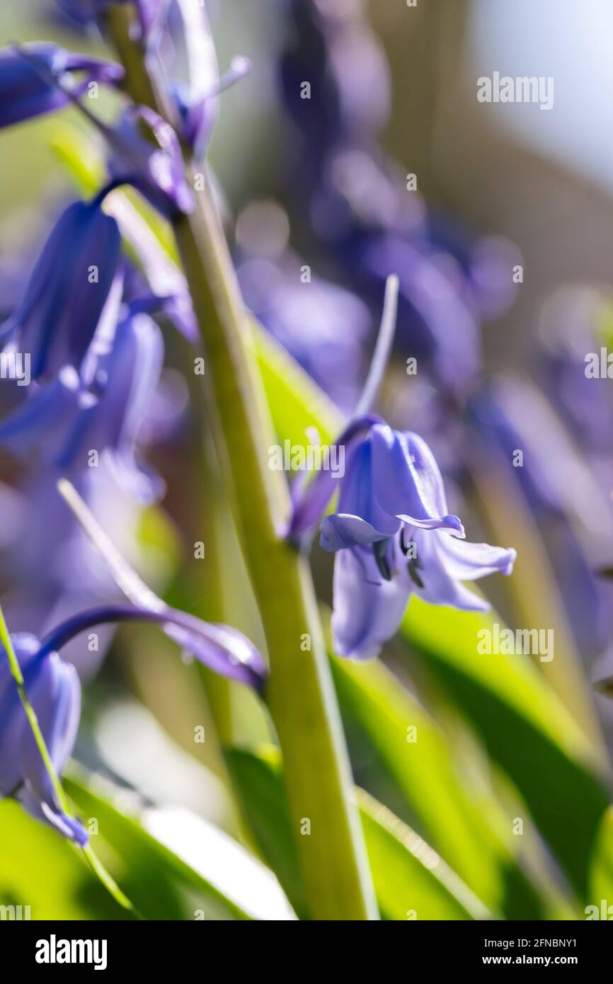 A portrait of a wild hyacinth, also known as a common bluebell flower. The latin name of the plant is hyacinthoides non-scripta and is a bulbous peren Stock Photo