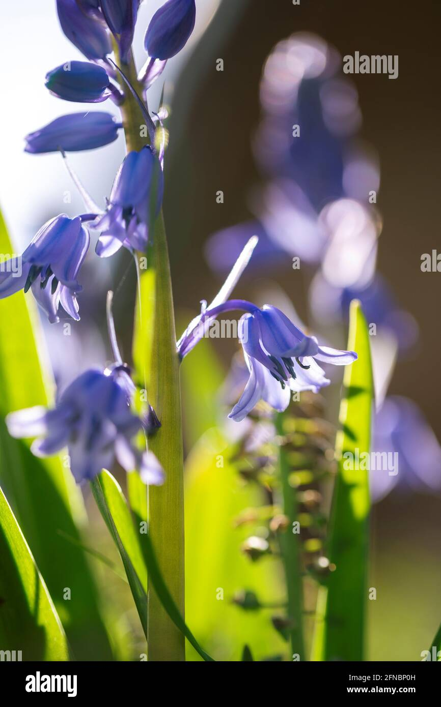 A portrait of a wild hyacinth in a garden, also known as a common bluebell flower. The latin name of the plant is hyacinthoides non-scripta and is a b Stock Photo
