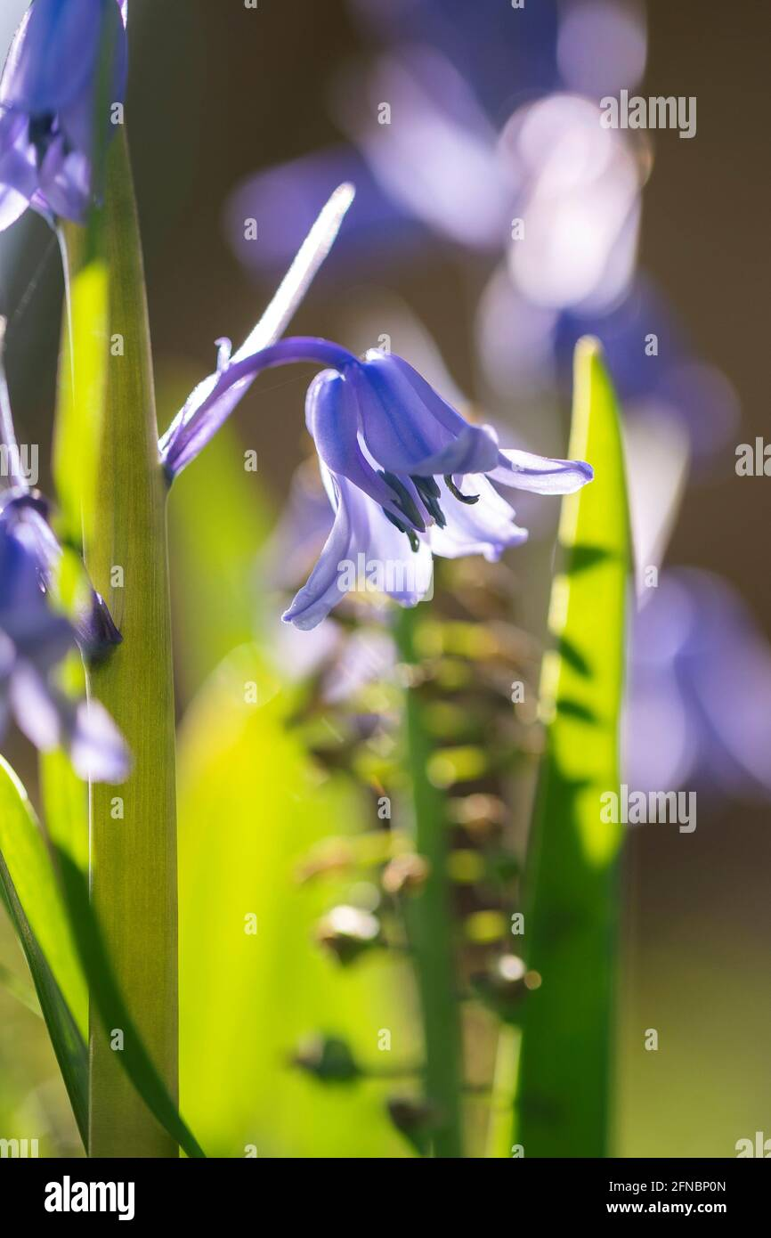 A close up portrait of a wild hyacinth in a garden, also known as a common bluebell flower. The latin name of the plant is hyacinthoides non-scripta a Stock Photo