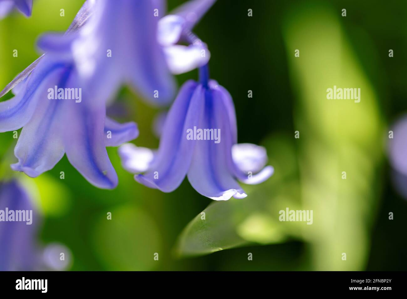 A portrait of a wild hyacinth, also known as a common bluebell flower, in a garden. The latin name of the plant is hyacinthoides non-scripta and is a Stock Photo