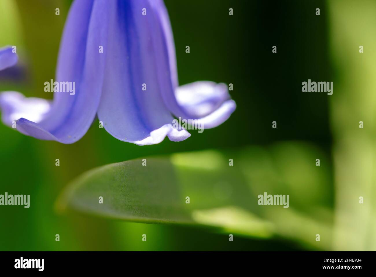 A portrait of a petal of a wild hyacinth, also known as a common bluebell flower, in a garden. The latin name of the plant is hyacinthoides non-script Stock Photo