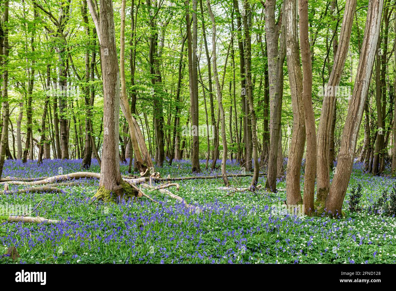 Wood Anemones and Bluebells in Sussex Woodland on a Spring Day Stock Photo