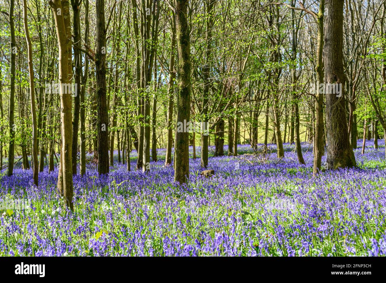 Morning light streaming in woodland with young trees and ground covered in bluebells. Walstead, West Sussex, England. Stock Photo