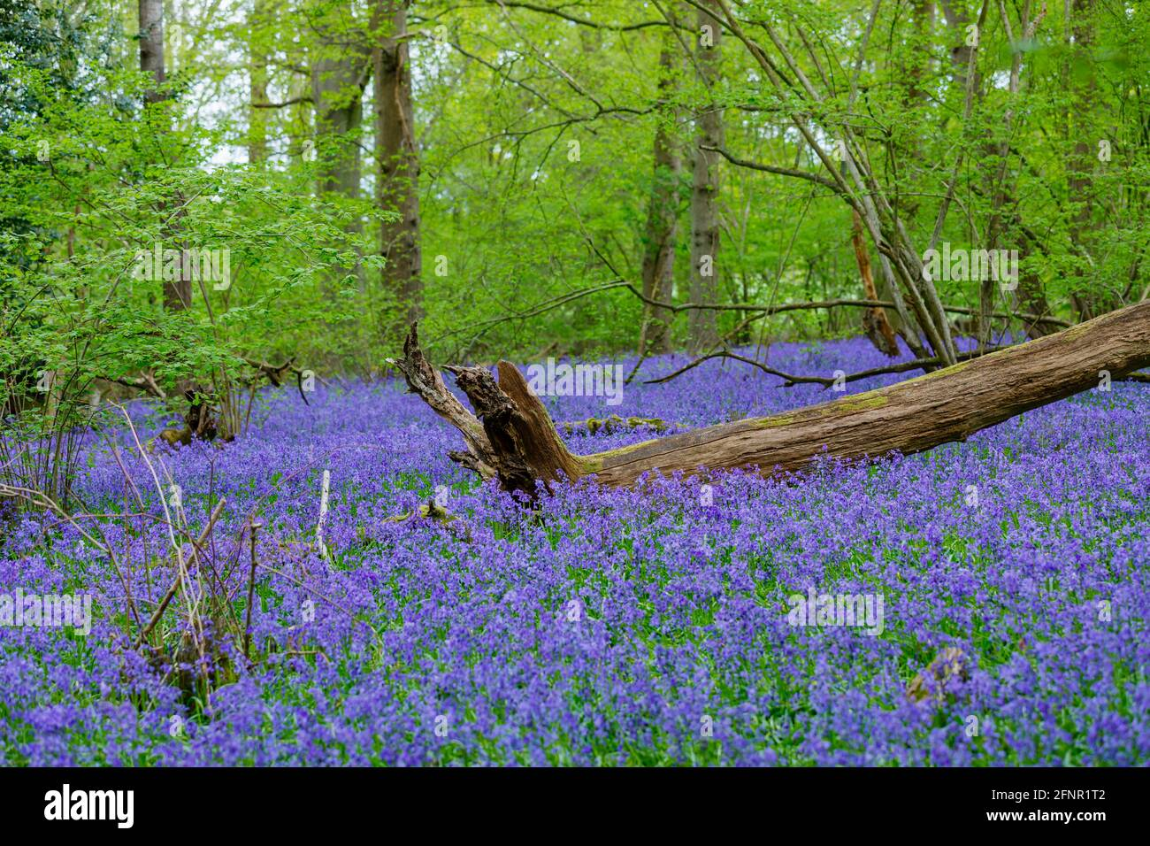 Fallen tree stump in blue English bluebells (Hyacinthoides non-scripta) flowering in woodland in spring in Surrey, south-east England Stock Photo