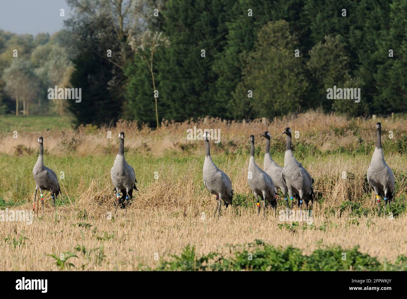 Flock of Common / Eurasian cranes Grus grus, released by the Great Crane Project onto the Somerset Levels and Moors, standing alert in Barley stubble. Stock Photo