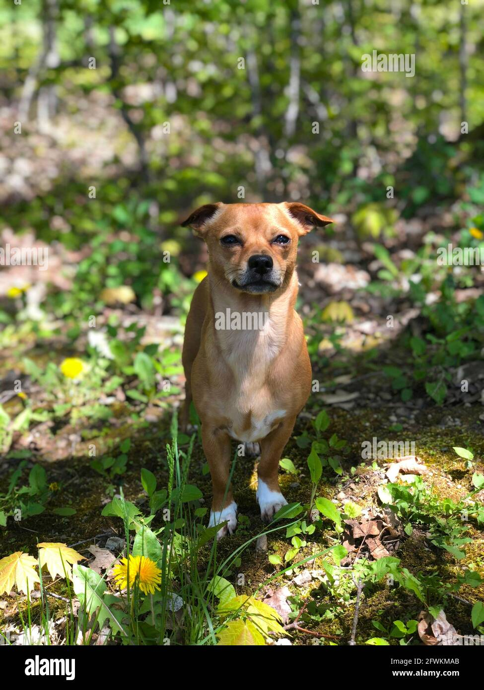 Chiweenie, a chihuahua and dachshund mix  dog outdoors amongst the grass and dandelions during spring Stock Photo