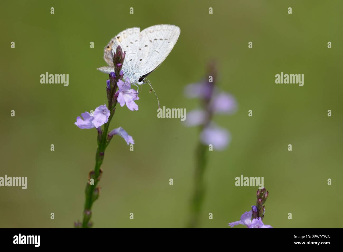 Eastern Tailed-Blue Stock Photo
