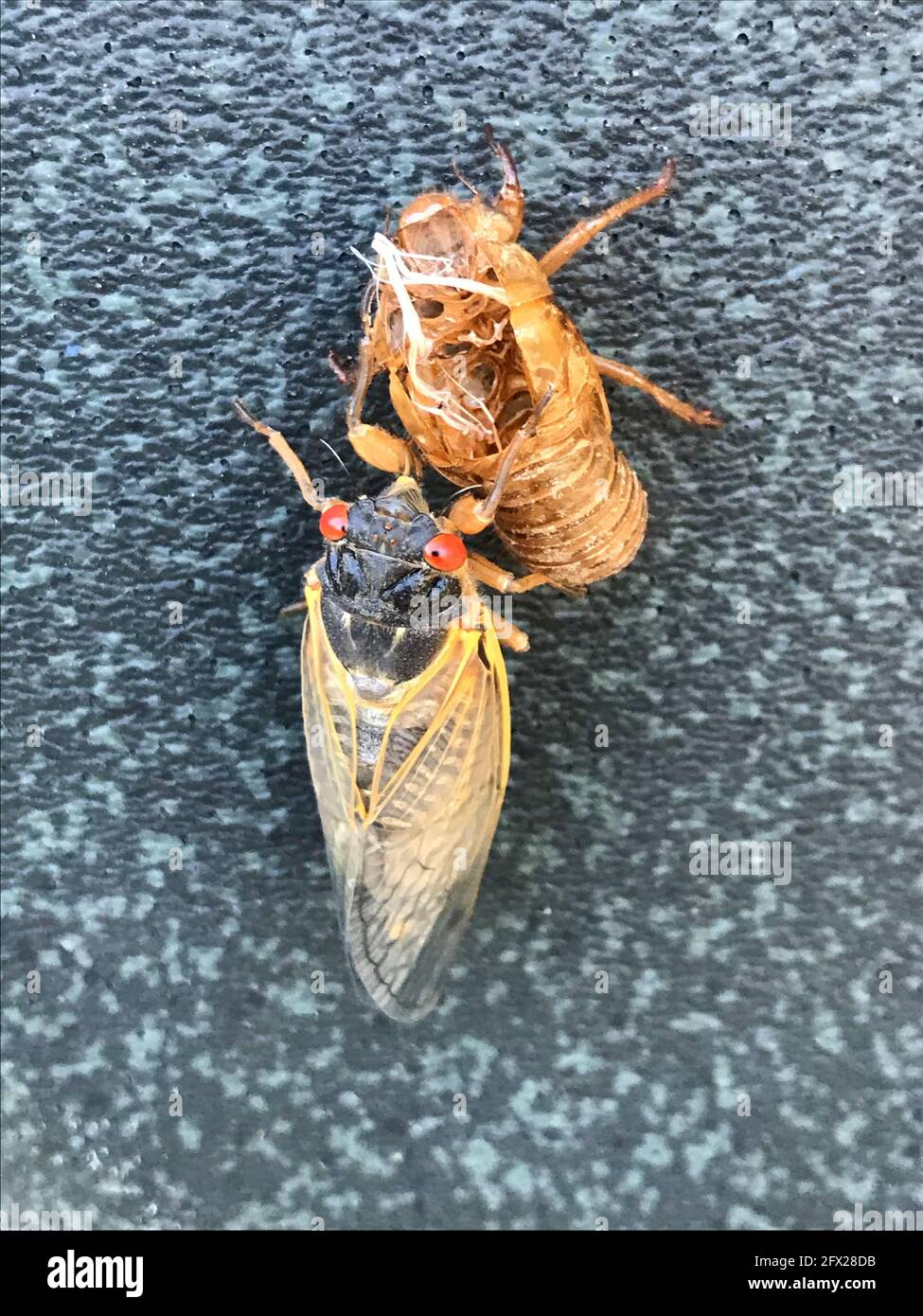 Bethesda, USA. 19th May, 2021. This image shows a molting Brut X cicada in Bethesda, near Washington. Loud cicadas of a species that appears only once every 17 years have led to increased emergency calls to authorities in Union County in the US state of Georgia. Credit: Cordula Berghahn/dpa/Alamy Live News Stock Photo