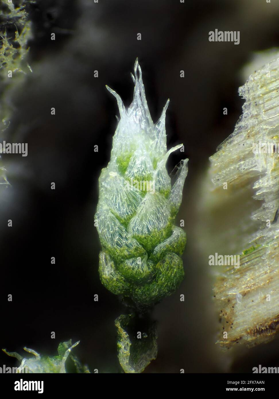 Very young moss (likely Bryum argenteum) under the microscope, vertical field of view is about 1.1mm Stock Photo