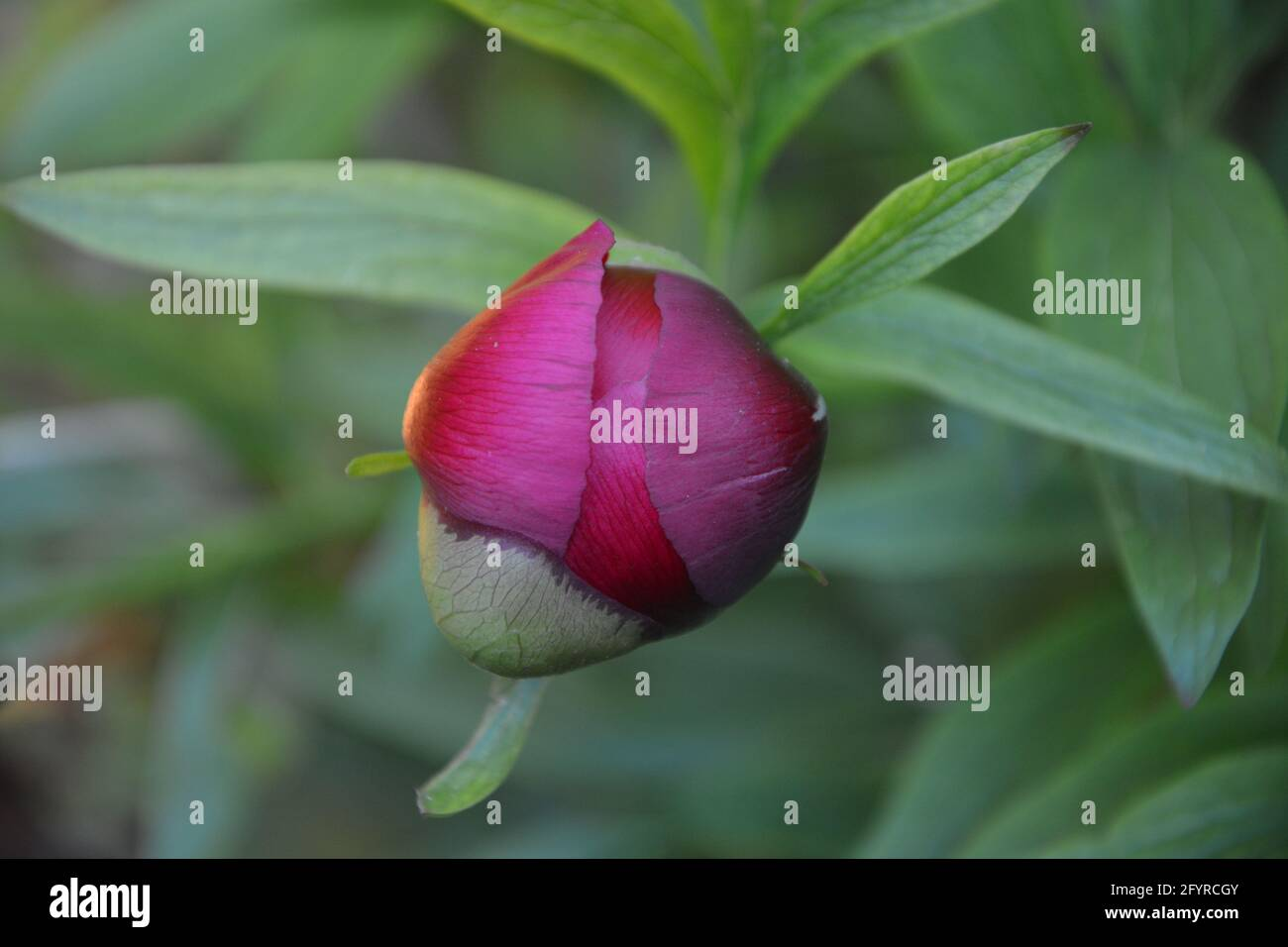 Paeonia Officinalis Rubra Plena, Old Garden Rose, Beautiful and Peaceful Floral Space Stock Photo