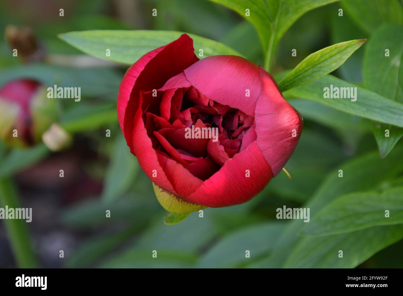 Paeonia Officinalis Rubra Plena, Old Garden Rose,  UK, Purely Beautiful and Peaceful Floral Space Stock Photo