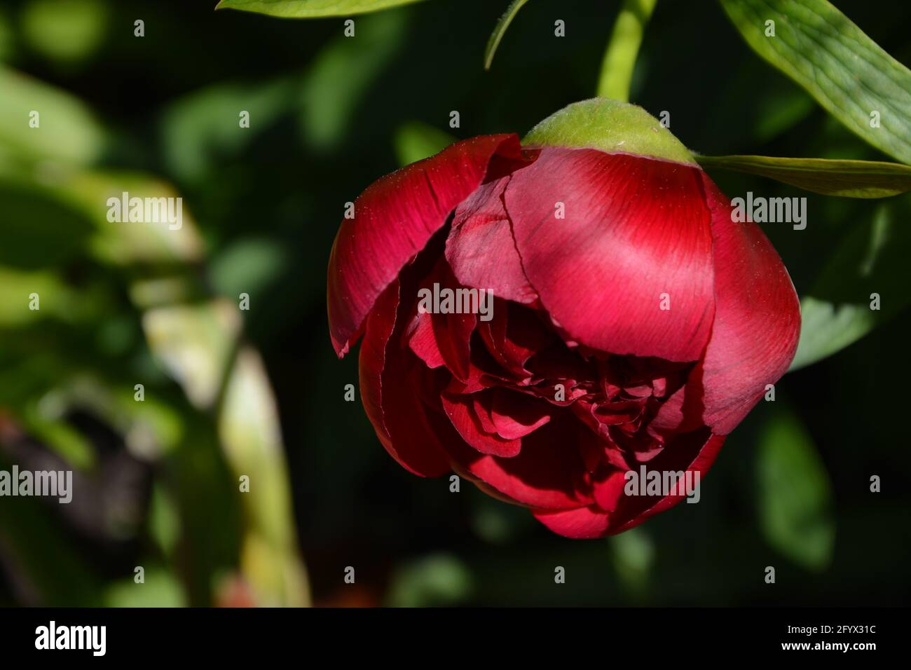 Magic Wand,Paeonia Officinalis Rubra Plena Cambridge UK, Purely Beautiful and Peaceful Floral Space Stock Photo