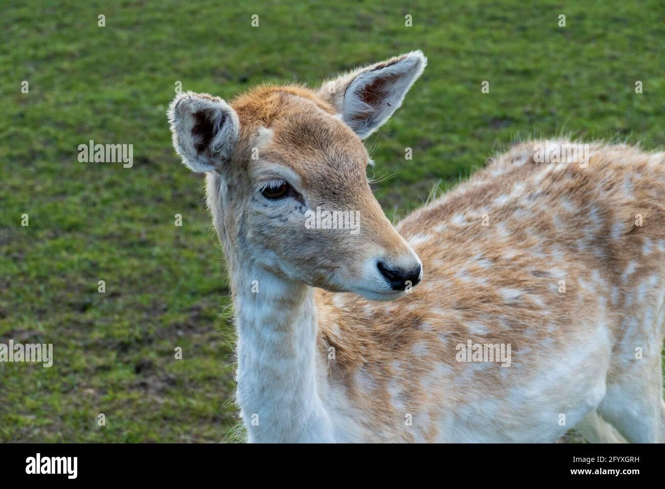 Damwild Damtier Weibchen, Hirschkuh  auf einer Wiese Stock Photo