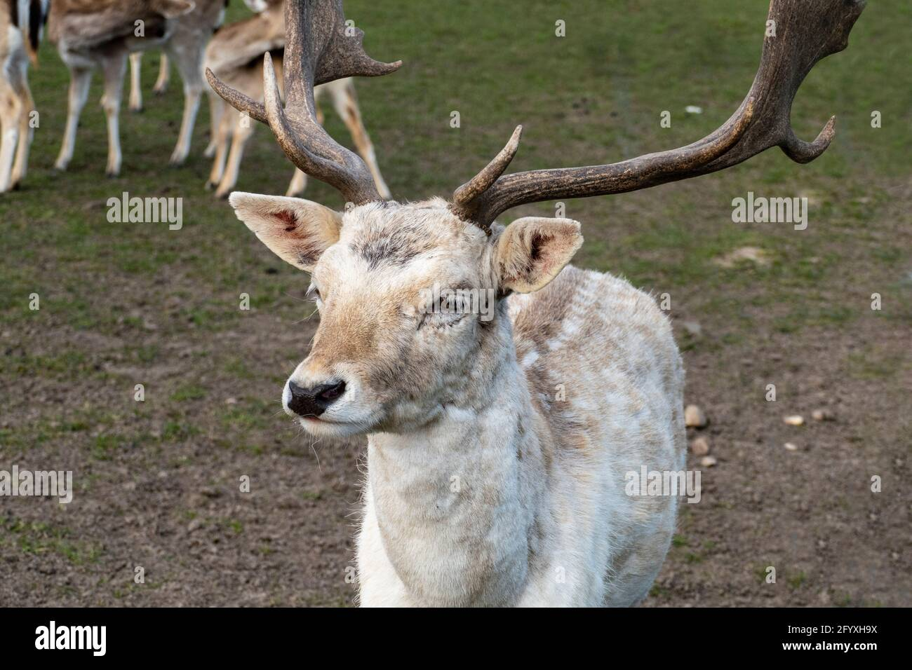 Damwild Hirsch mit Schaufelgeweih auf einer Wiese Stock Photo