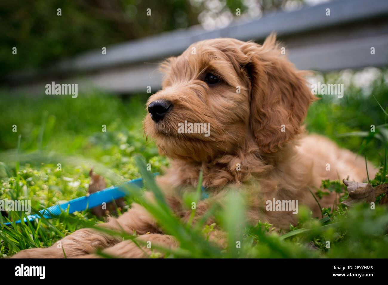 fluffy puppy in the grass Stock Photo