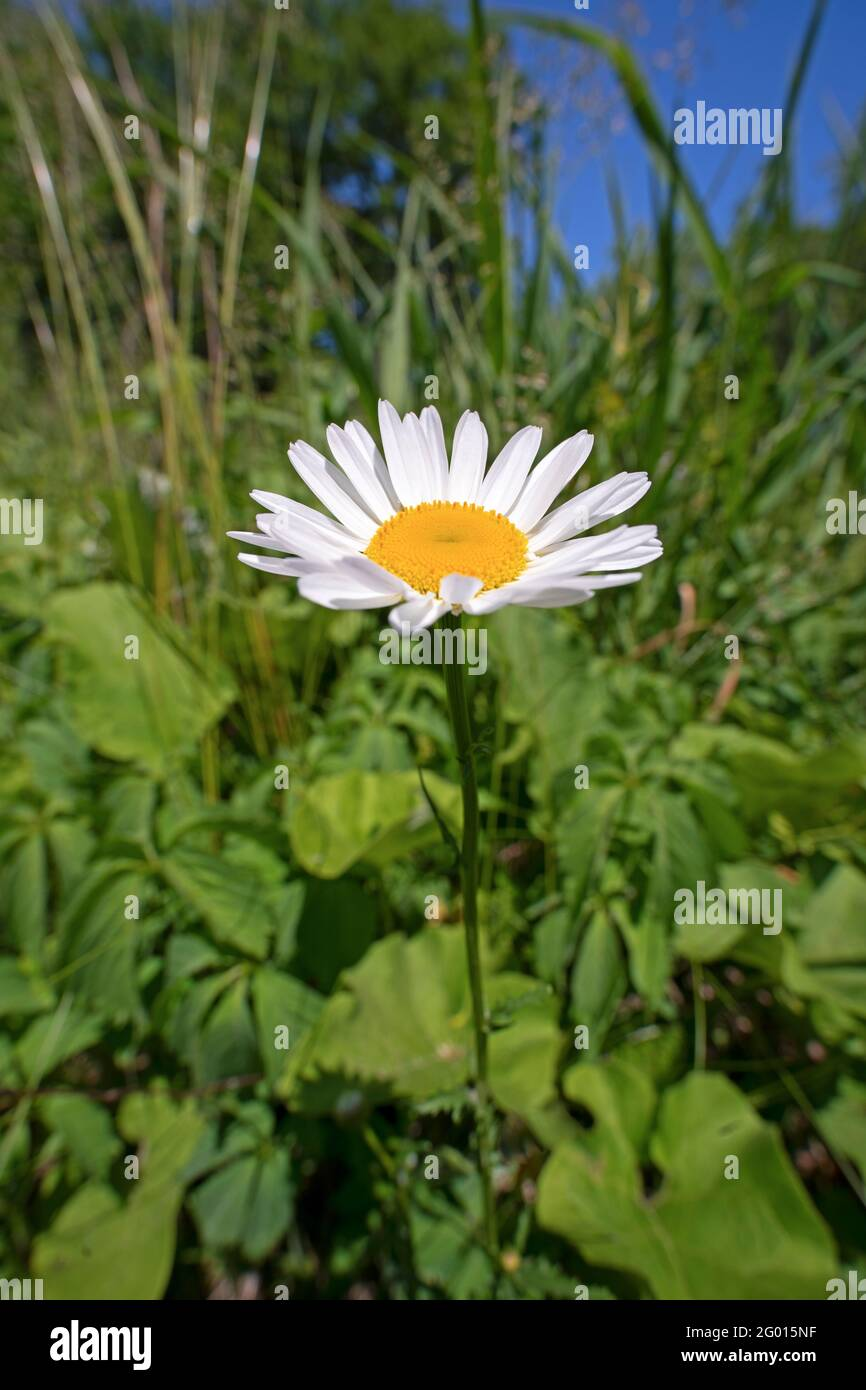 One Daisy flower,(Bellis perennis), surrounded by Weeds Stock Photo
