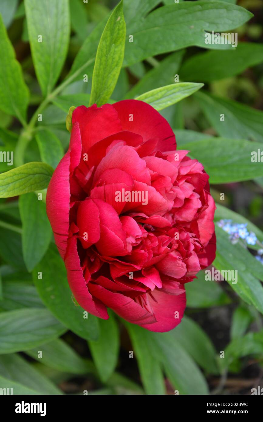 Paeonia Officinalis Rubra Plena Cambridge, UK, Purely Beautiful and Peaceful Floral Space Stock Photo