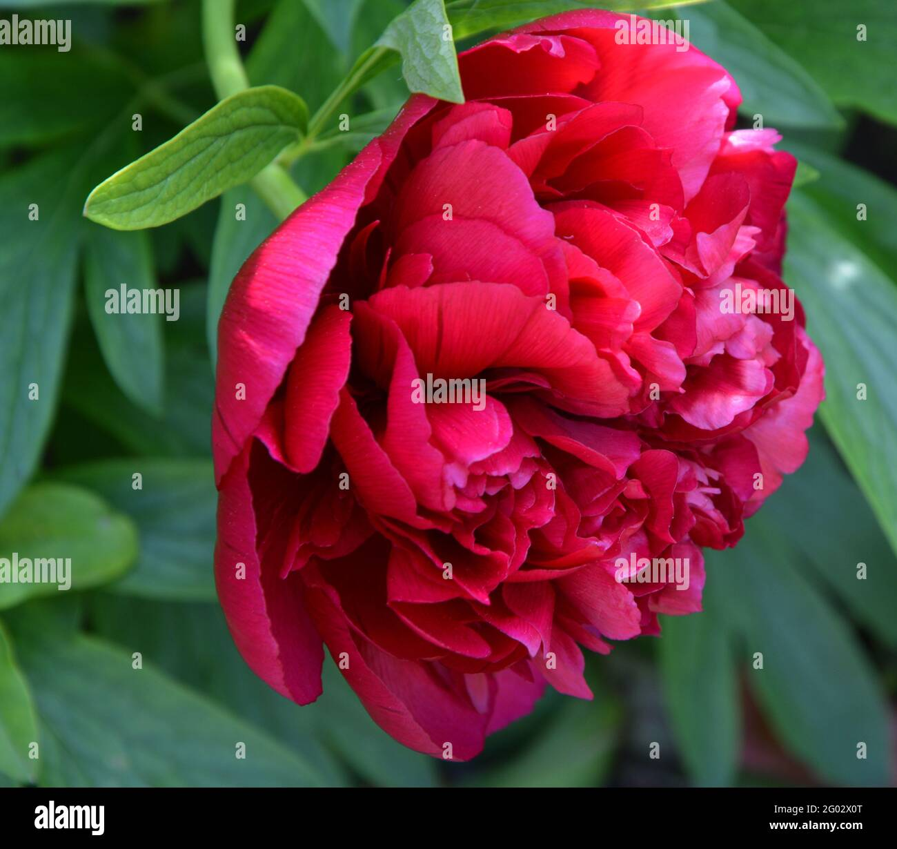 Paeonia Officinalis Rubra Plena, Cambridge, Purely Beautiful and Peaceful Floral Space Stock Photo