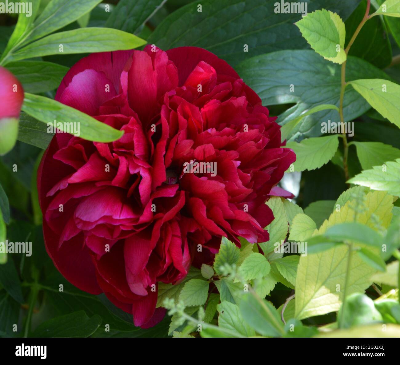 Paeonia Officinalis Rubra Plena,  Purely Beautiful and Peaceful Floral Space Stock Photo