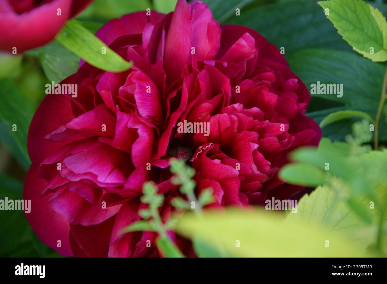 Double Red Peony,  Paeonia Officinalis Rubra Plena, Purely Beautiful and Peaceful Floral Space Stock Photo