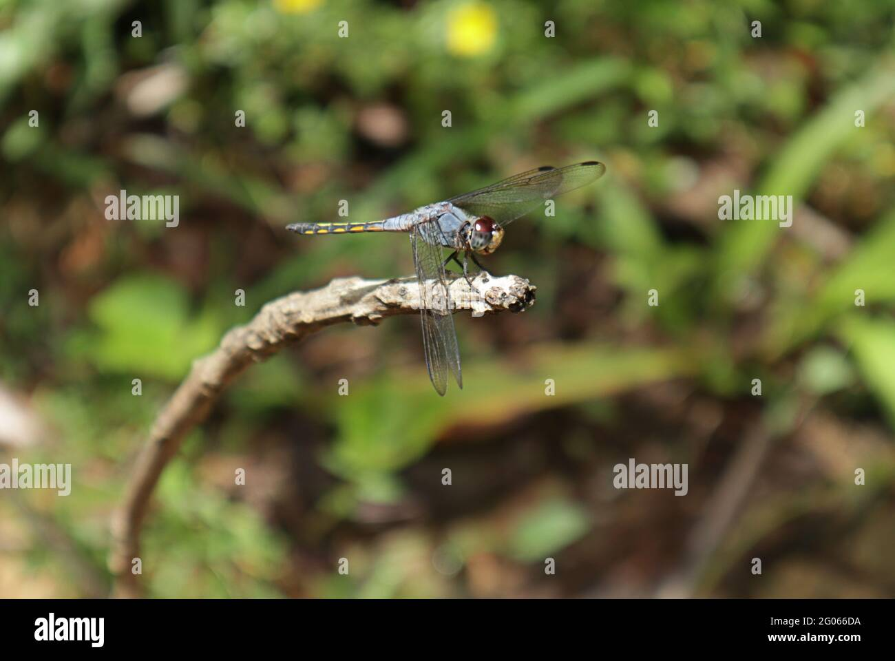 Side view of a violet marked darter dragonfly on top of a dry stick Stock Photo
