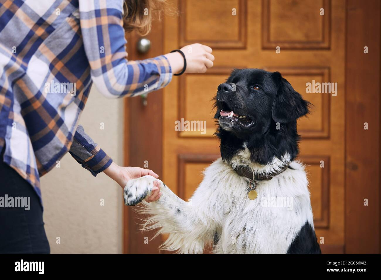 Dog (Czech mountain dog) giving paw teenage girl during obedience training against door of house. Stock Photo