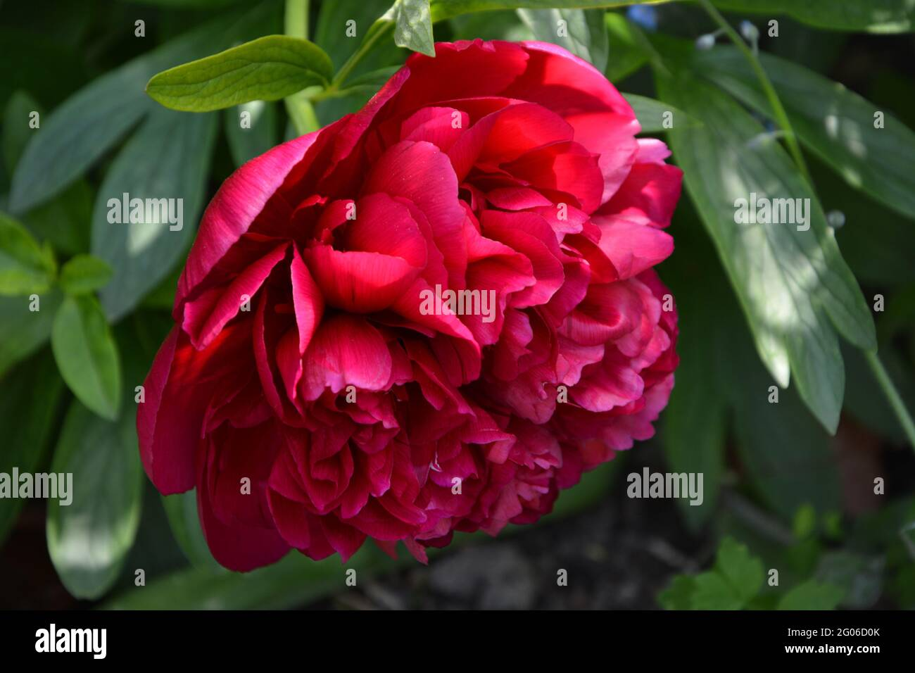 Paeonia Officinalis Rubra Plena, Red Peony, Cambridge UK, Purely Beautiful and Peaceful Floral Space Stock Photo