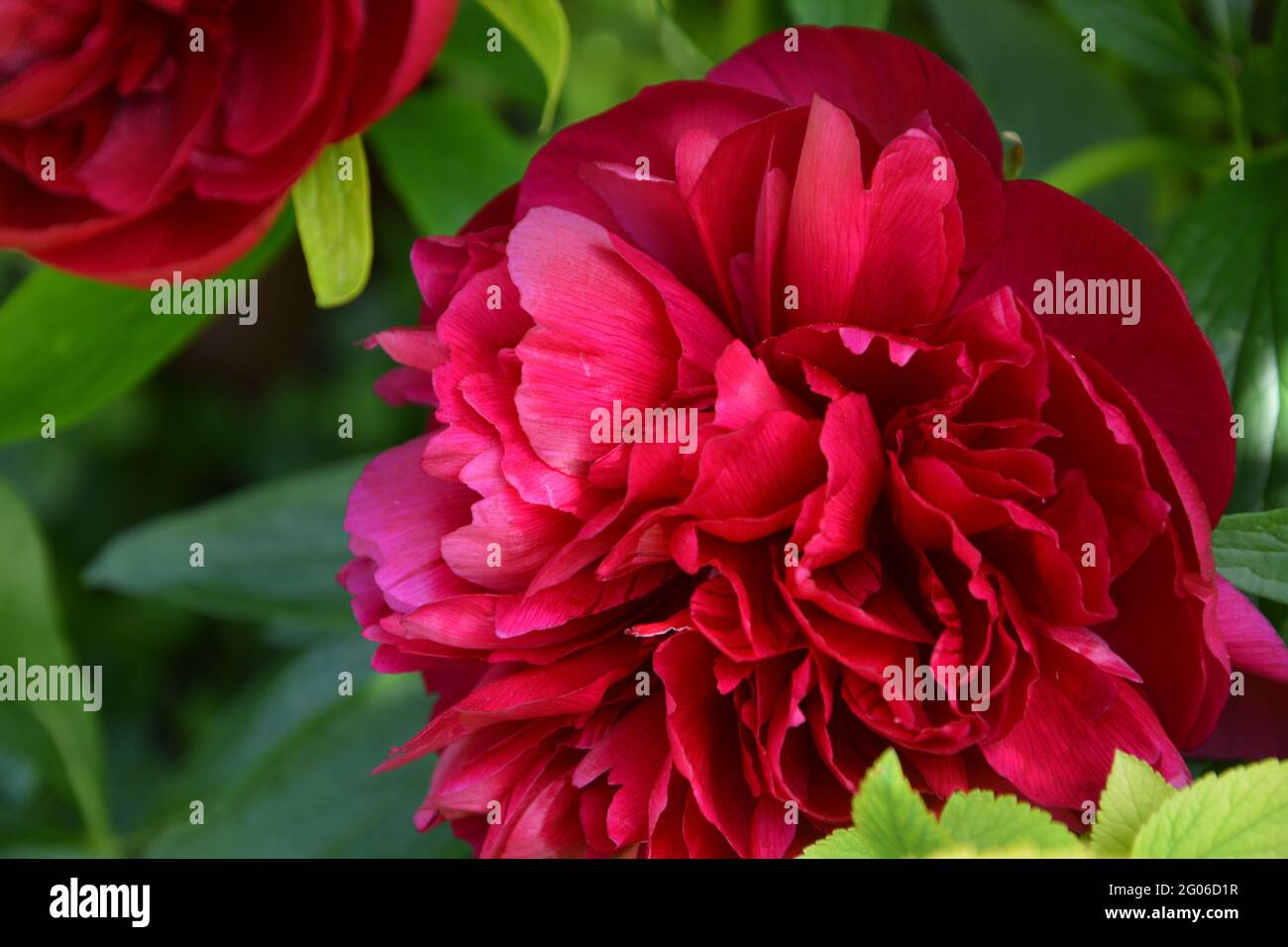 Paeonia Officinalis Rubra Plena, Cambridge  UK, Purely Beautiful and Peaceful Floral Space Stock Photo