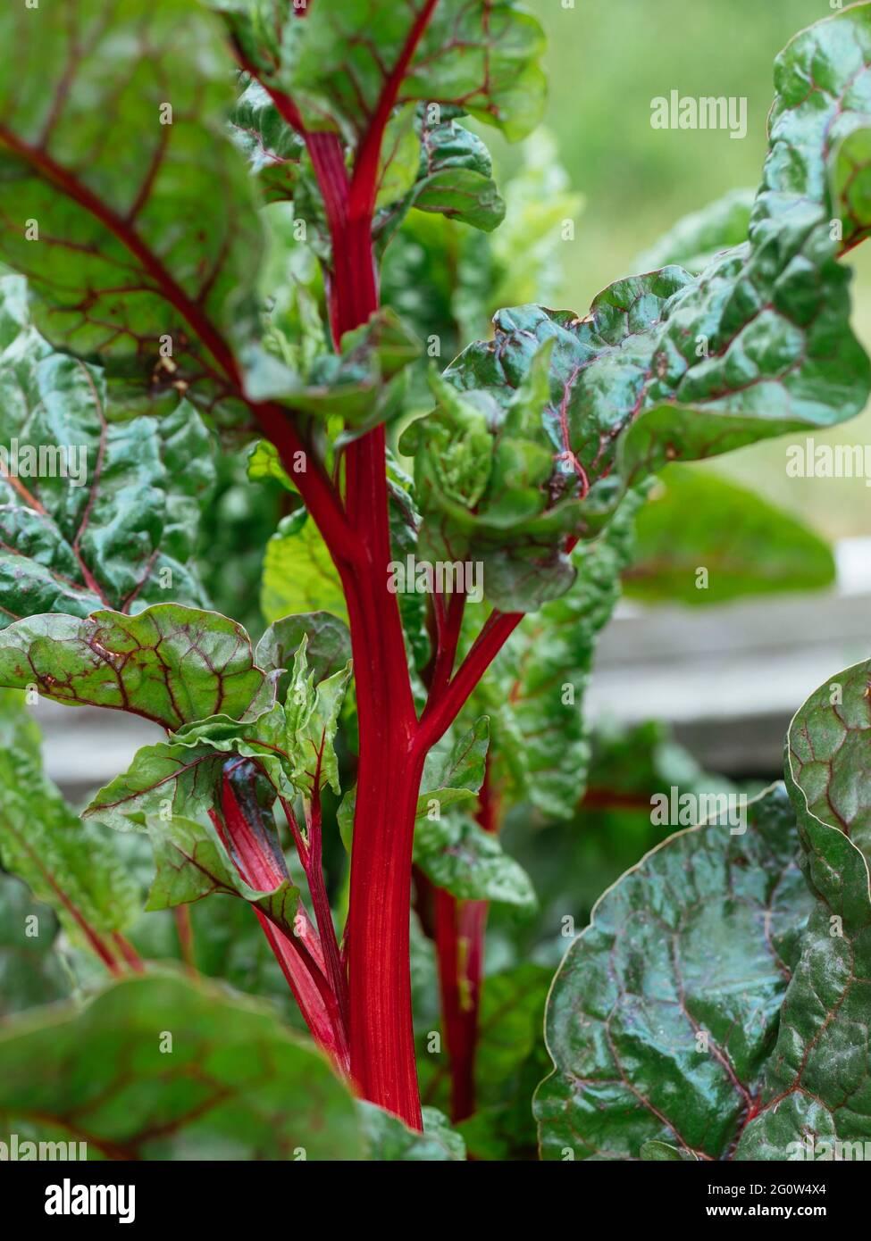 Red-stemmed Swiss chard (var. red vulkan) in a garden. Stock Photo