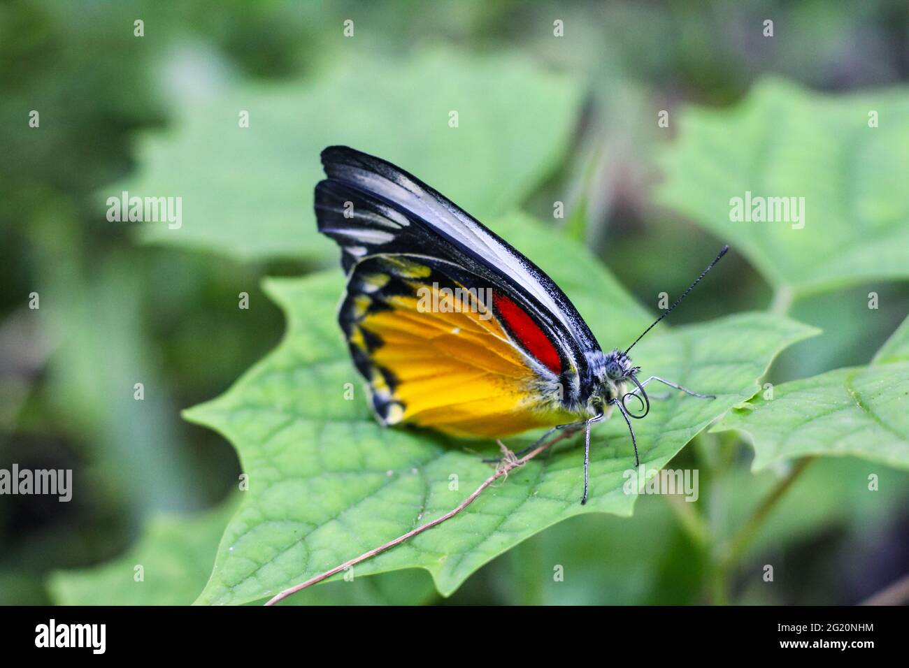 Beautiful yellow butterfly on the leaf with green background. Stock Photo