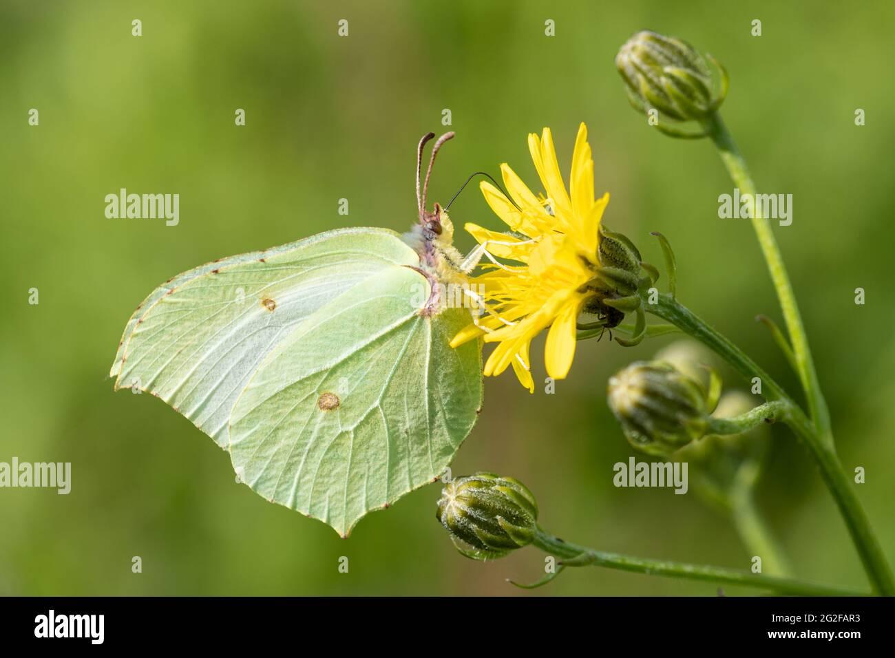Brimstone butterfly (Gonepteryx rhamni) feeding on hawkbit wildflower during summer, UK Stock Photo