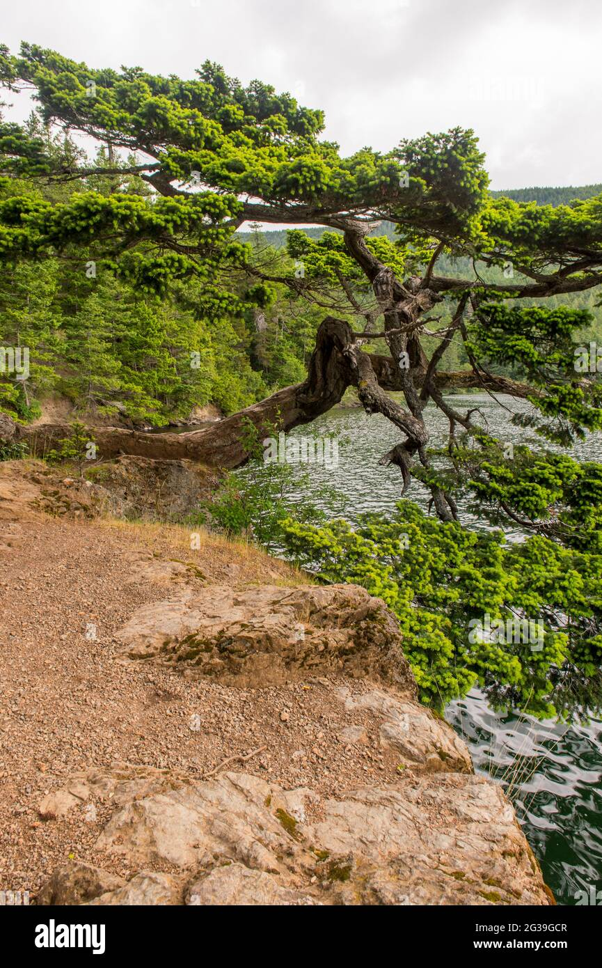 A Douglas fir tree shaped by the wind leaning over the shore of Cascade Lake in Moran State Park on Orcas Island, San Juan Islands in Washington State Stock Photo