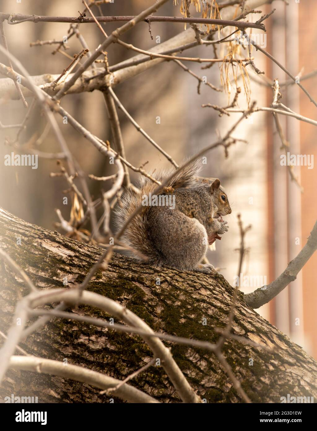 grey fluffy squirrel sitting on a branch in a city with something in the hands eating Stock Photo