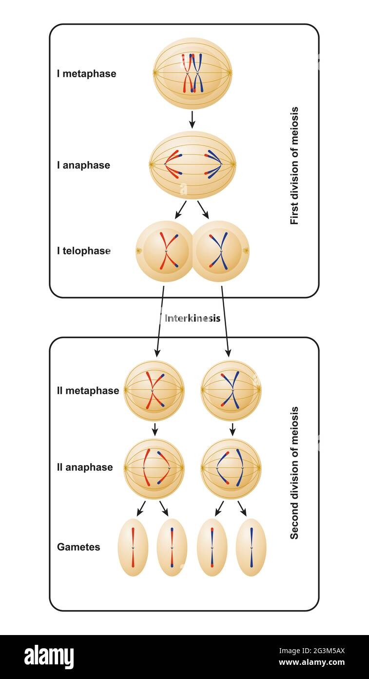 Division of meiosis. Meiosis is divided into meiosis I and meiosis II Stock Photo