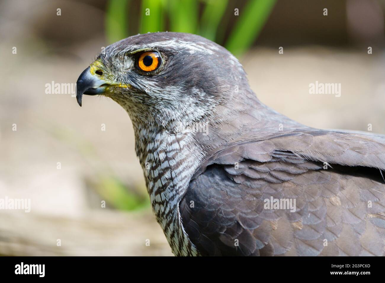 Close-up view of Northern goshawk (Accipiter gentilis), with out of focus background. Stock Photo
