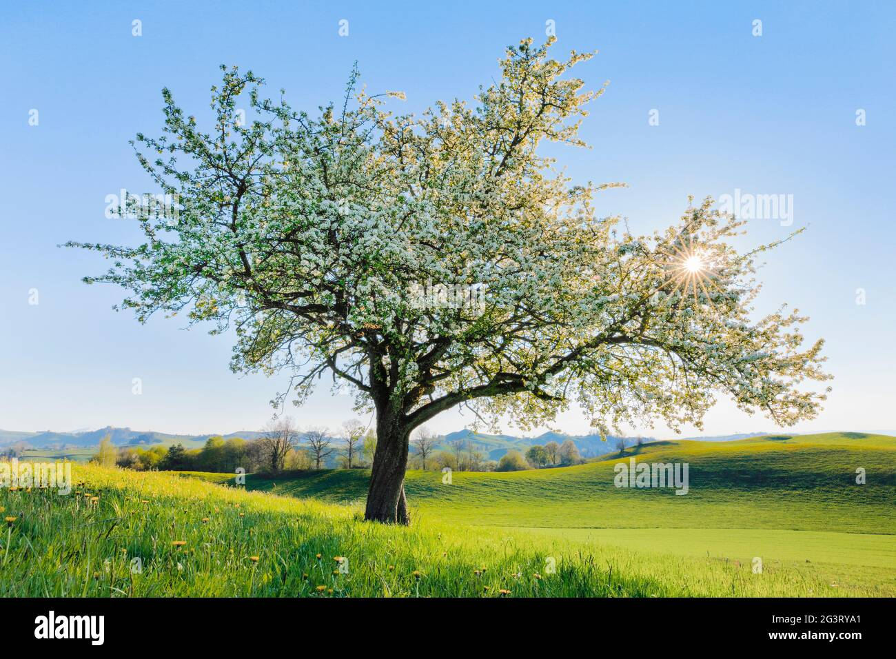 Common pear (Pyrus communis), blooming pear tree in flower meadow in spring in backlight, Switzerland, Zuercher Oberland Stock Photo